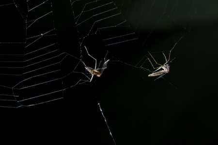 mosquito on web of spider Stock Photo
