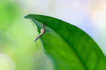 mosquito on green Leave Stock Photo