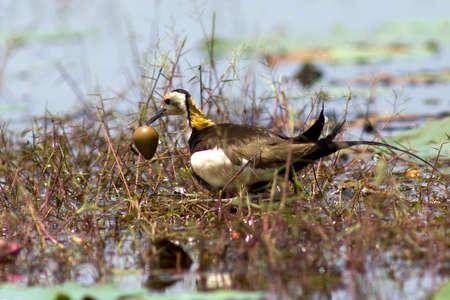 Bird pheasant-tailed jacana in lake thailand. Stock Photo