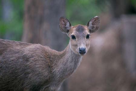siamensis: Deer free in zoo, Thailand