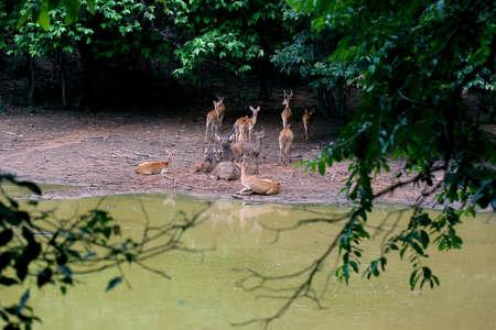 siamensis: Deers free in zoo, Thailand
