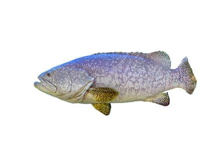 grouper fish on white background