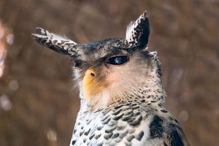 Spot-bellied Eagle owl Banco de Imagens
