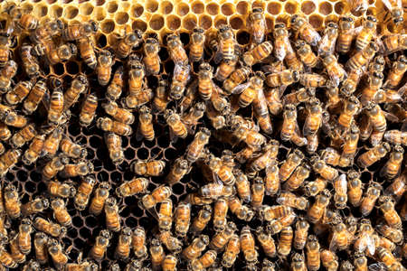 bees are working on a beeswax in a bee hive