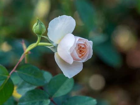 rose in the garden
