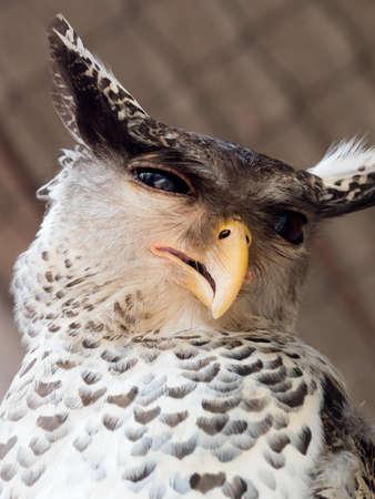 Spot-bellied Eagle owl Standard-Bild