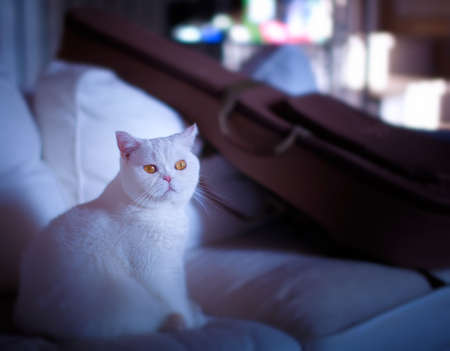 pussycat: white cat on the couch