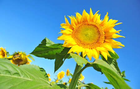 giant sunflower: Giant sunflower with blue sky as background
