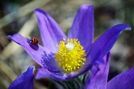 Red ladybug on blue primrose, sunny spring day. Zdjęcie Seryjne