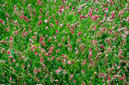 Colorful red and white flowers of Sanguisorba officinalis. Stok Fotoğraf