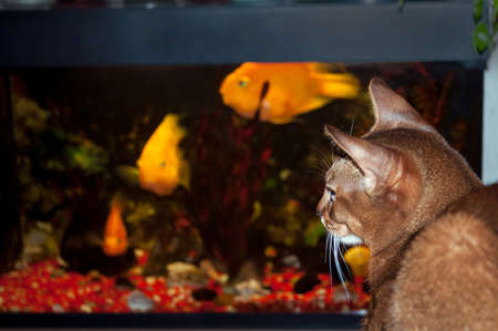 Abyssinian cat sitting in front of an aquarium with fish.