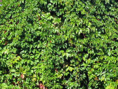 A living green wall of vines Parthenocissus, background.