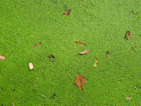 Autumn leaves and green duckweed on the pond., top view. Stock Photo