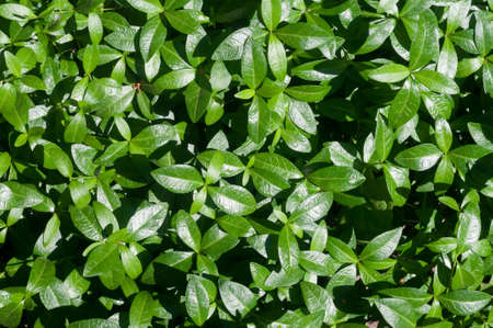 The view from the top of the green leaves of periwinkle in the garden, background.