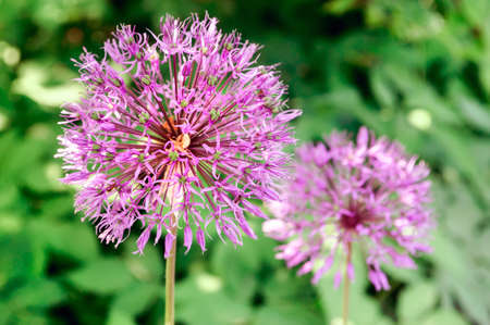 Purple inflorescence of decorative onions in the garden, selective focus.