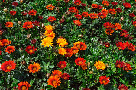 Gazania rigens red flowers in the garden, background. Banque d'images