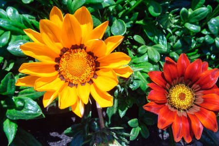 Orange flower Gazania rigens in the garden, close up.