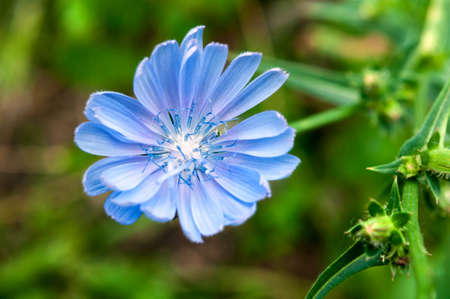 Blue chicory flower on a background of blurred green, shallow depth of field. Stockfoto