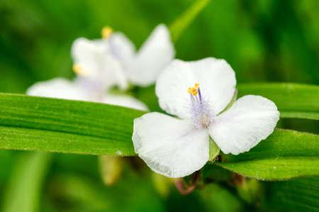 Bright white tradescantia flower in the garden.