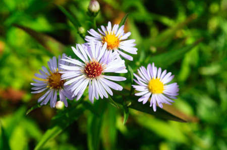 Pale purple flower Aster chamomile in the garden, selective focus. 版權商用圖片