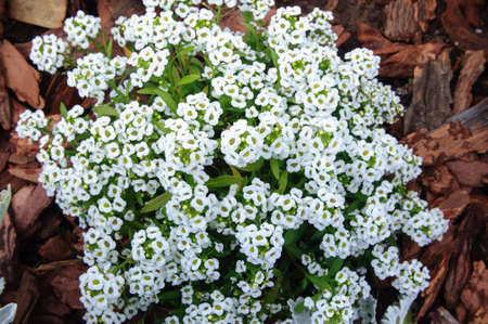 White alyssum flowers in the summer garden, selective focus. Imagens