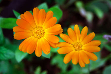 Two orange calendula flowers in the garden, close up.