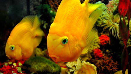Parrot fish, orange cichlid in the aquarium, close up.