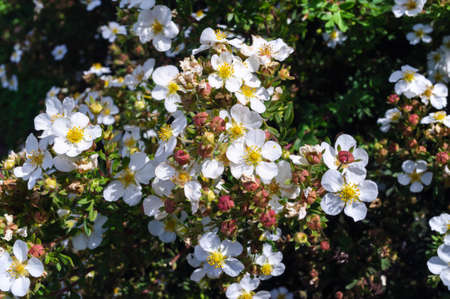 White flowers Potentilla fruticosa in the garden.