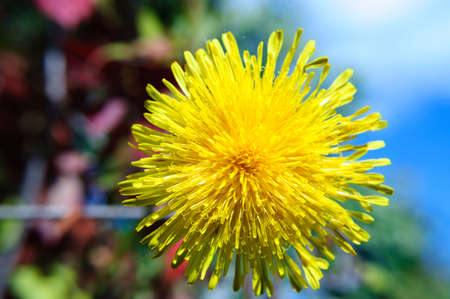 Top view yellow dandelion flower in the garden, close up. Stockfoto