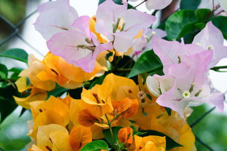 Yellow and purple bougainvillea flowers in the park, background. Banco de Imagens