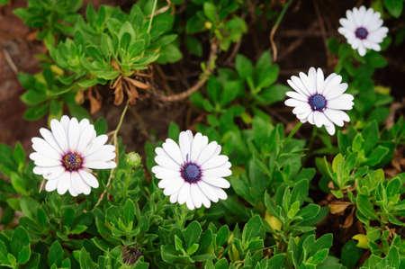 White flowers Osteospermum in the summer garden, selective focus. Banco de Imagens