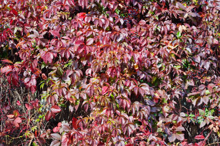 Red leaves of ornamental grapes in the autumn garden, background.
