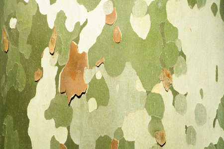 The surface texture of the bark of the plane tree, background.