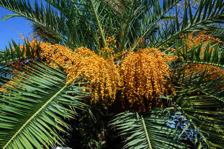 The ripening fruit of the date palm, Turkey.
