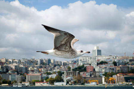 Seagull flying along the shore of the Bosphorus.