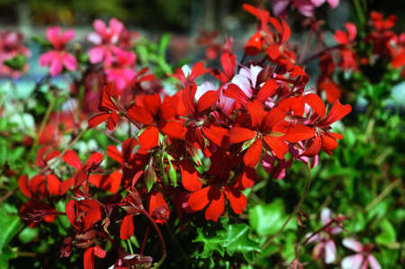 Red pelargonium flowers in the summer garden. Banco de Imagens