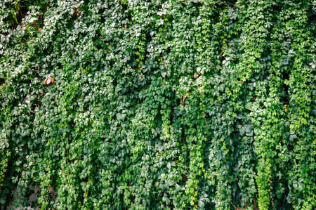 The wall is overgrown with decorative grapes.