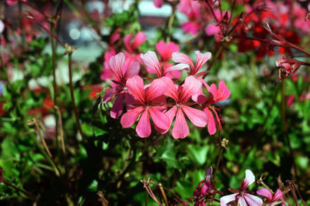 Pink pelargonium flowers in the summer garden.