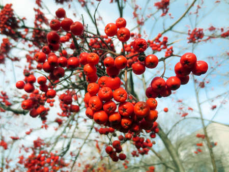 Clusters of red mountain ash on the tree.