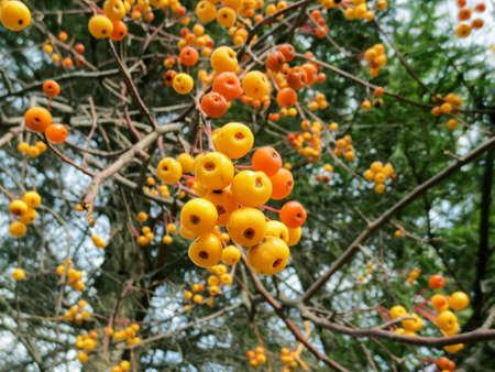 Clusters of wild apple fruit on a tree. Banco de Imagens