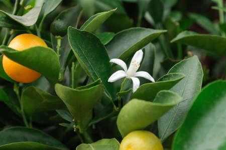 White flower on an orange tree in the garden, close up. Banco de Imagens