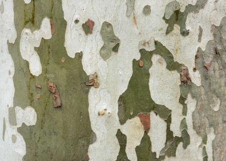 Natural texture of sycamore tree bark.