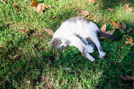White and gray cat on the green grass in the park.