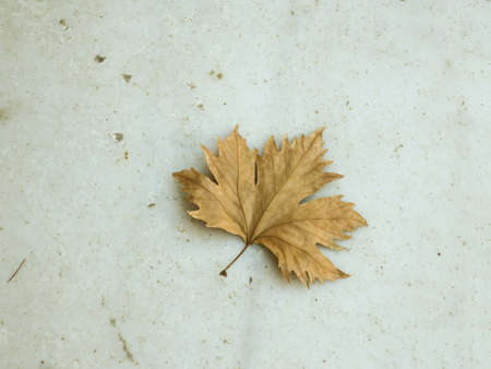 Dry sycamore leaf on the stone surface, background. Banco de Imagens
