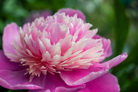Pink peony in the garden.
