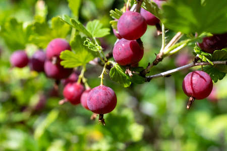 Fresh red gooseberry berries in the garden. 版權商用圖片