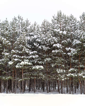 Pine trees covered with snow in the winter forest.