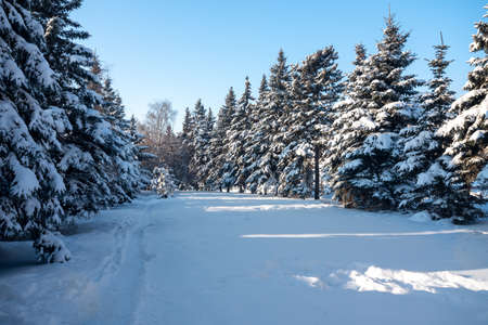 Fir trees covered with snow in the forest, Russia.