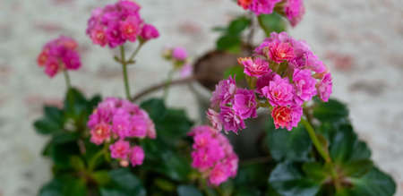 Bright pink flowers kalanchoe home plant, selective focus.