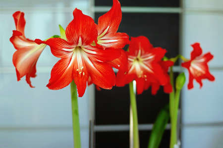Blossoming Hippeastrum red flower spectacular houseplant, shallow depth of field. Imagens